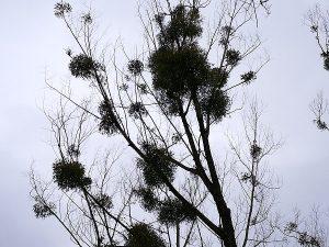 Die Mistel gilt seit jeher als mystisch und heilig. Sie wächst in Kugelform auf verschiedenen Baumarten und ernährt sich von ihren Wirten.